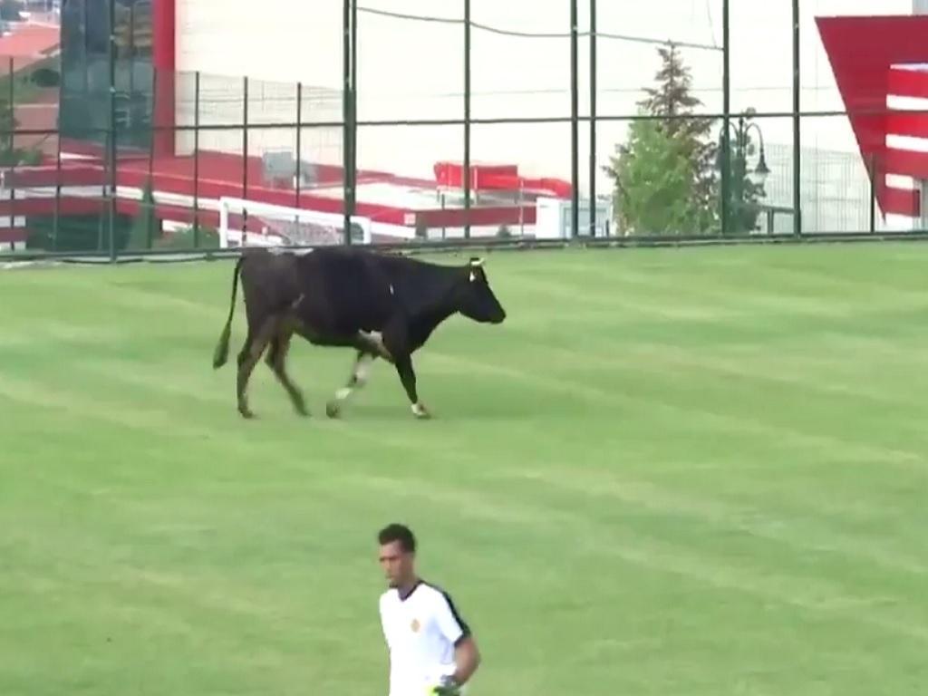 VÍDEO: vaca entra em cena para interromper jogo na Bulgária