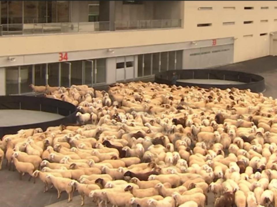 At. Madrid tenta impedir mil ovelhas de entrarem no estádio (VÍDEO)